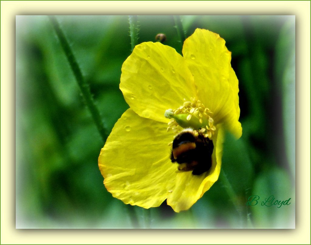 Welsh Poppy and the Bumble Bee. by beryl