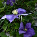 Clematis after the rain.. by snowy