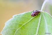7th Jun 2019 - Spotted Lady Beetle!