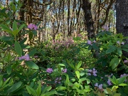 7th Jun 2019 - The Last of the Native Rhododendrons for This Year