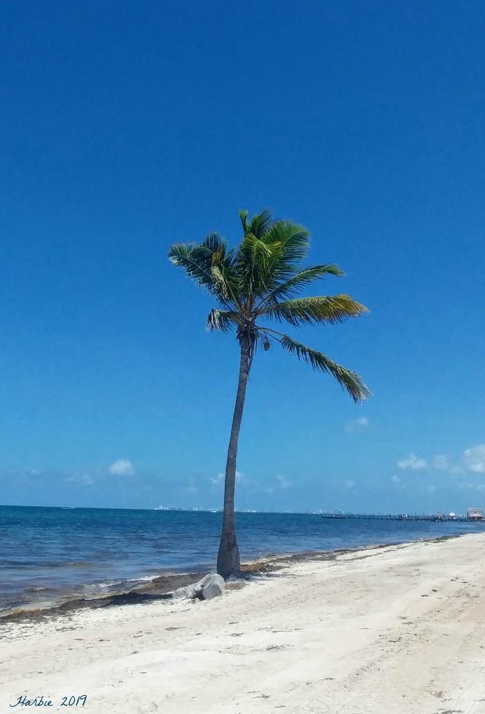 Lone Palm Tree by harbie