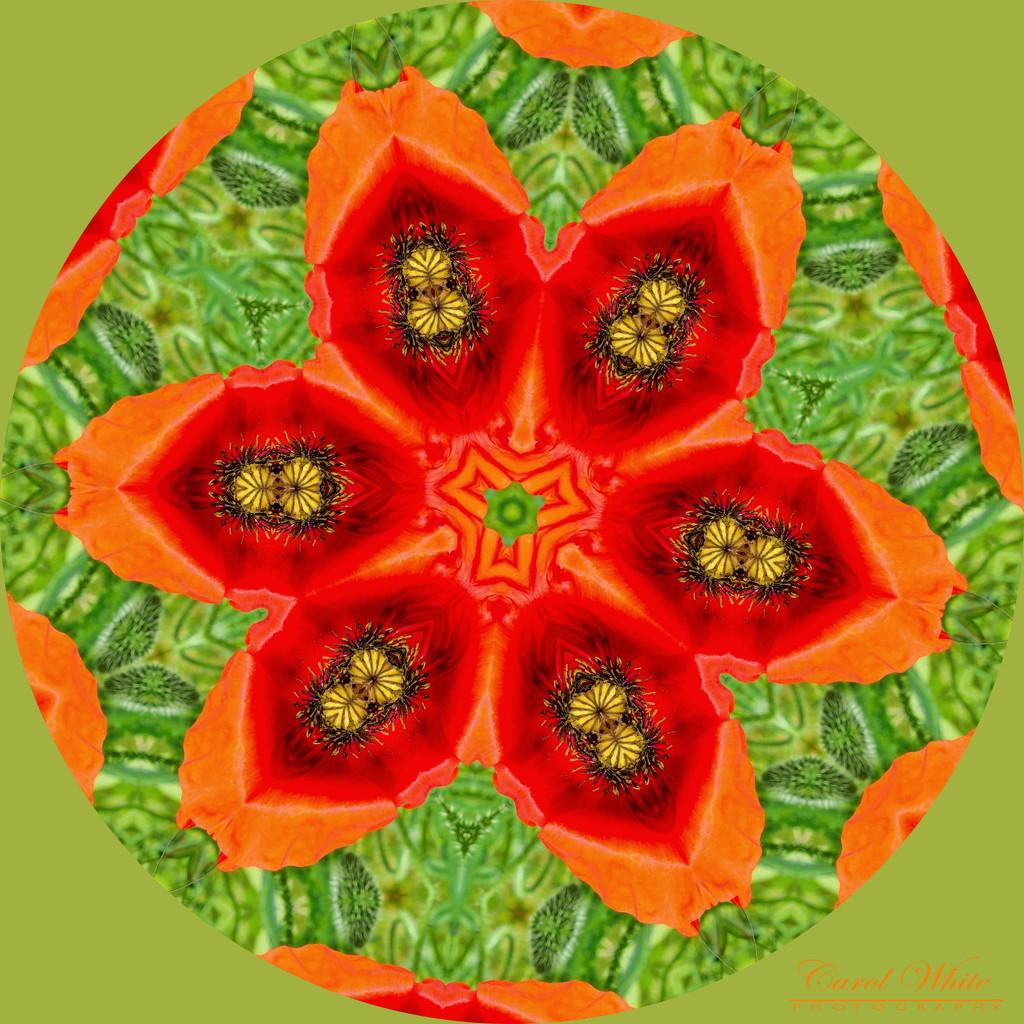 Poppy Kaleidoscope by carolmw