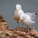 2019 06 08 - Herring Gulls