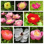 8th Jun 2019 -  Peonies at Hergest Croft