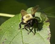 5th Jun 2019 - LHG_9183 Bee Polinators2