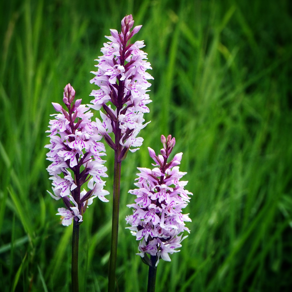 Wild orchids by suesmith