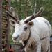Gosha The Reindeer