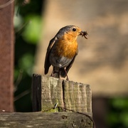 8th Jun 2019 - Robin with food for its young