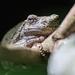 Frog by batfish