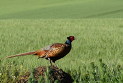 7th Jun 2019 - pheasant