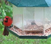 9th Jun 2019 - Mr. Cardinal