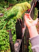 29th May 2019 - Ring necked parakeet feeding on nuts in Kensington Gardens