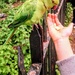 Ring necked parakeet feeding on nuts in Kensington Gardens by boxplayer