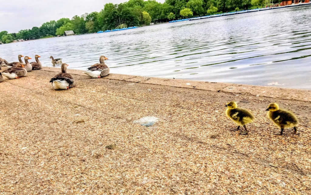 Greylag goslings looking for mummy in Hyde Park by boxplayer