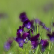 24th May 2019 - Lawn Violets