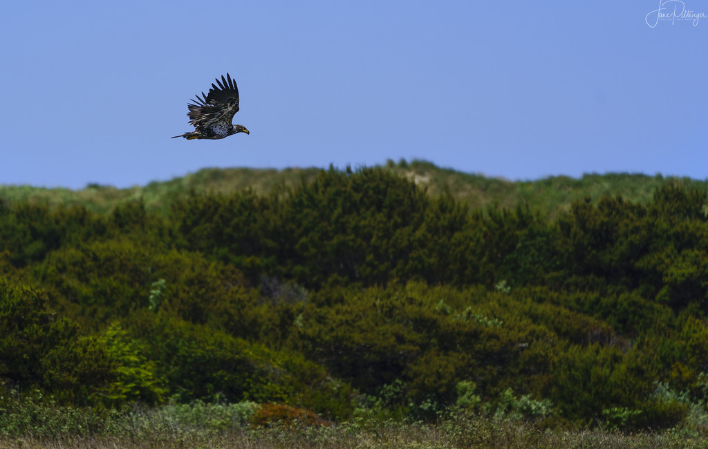 Juvenile Bald eagle Perusing His Territory by jgpittenger