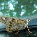 Obliging Moth
