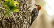 9th Jun 2019 - Woodpecker Looking for Bugs!