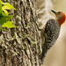 Woodpecker Looking for Bugs! by rickster549
