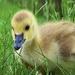 Gosling by lynnz