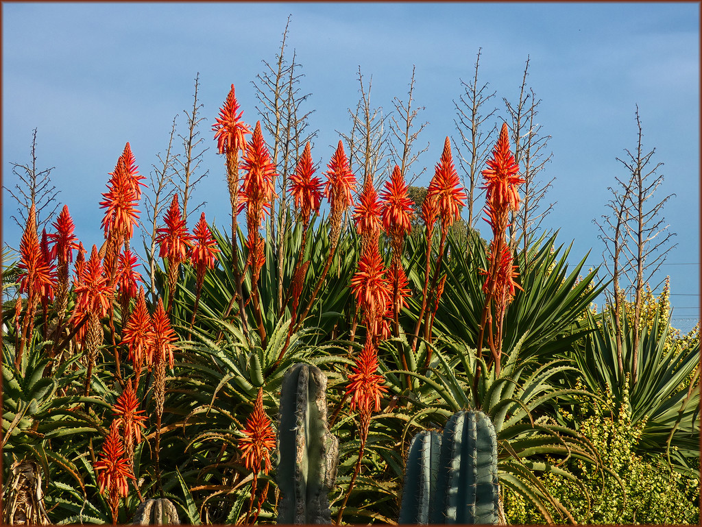 Aloe Africana by ludwigsdiana
