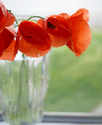 9th Jun 2019 - Poppies in a Vase