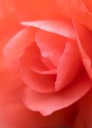9th Jun 2019 - dreamy rose