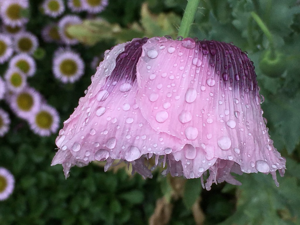 Soggy poppy - but it's beauty is not diminished  by 365anne