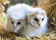10th Jun 2019 - Barn Owl Chicks