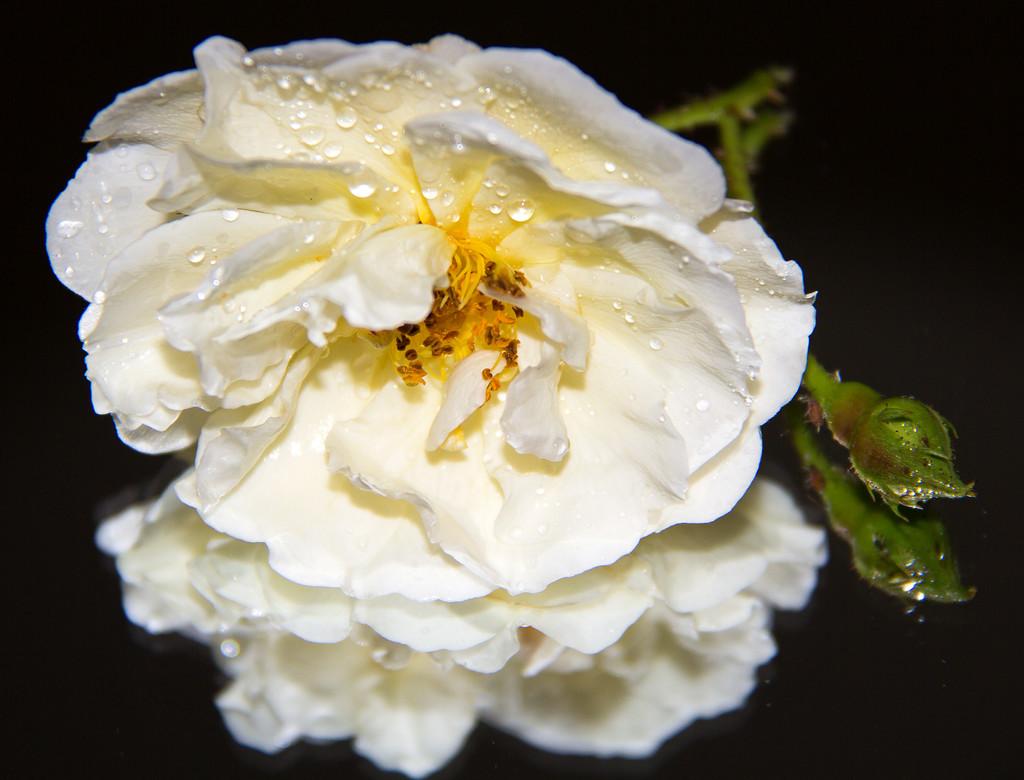 Raindrops on Roses  by hazydaze