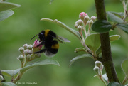 6th Jun 2019 - bumblebee