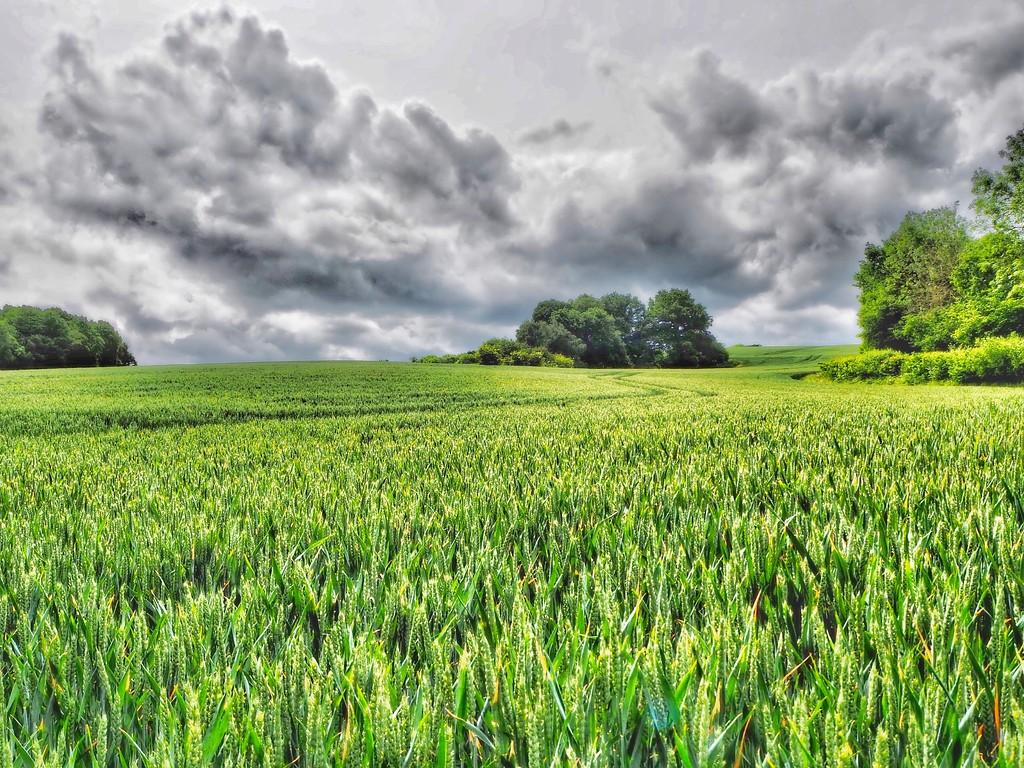 Cornfields by suesmith