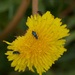 Flower beetle on dandelion flower