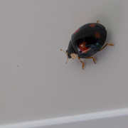 9th Jun 2019 - Harlequin ladybird