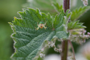 4th Jun 2019 - Crab spider on nettle