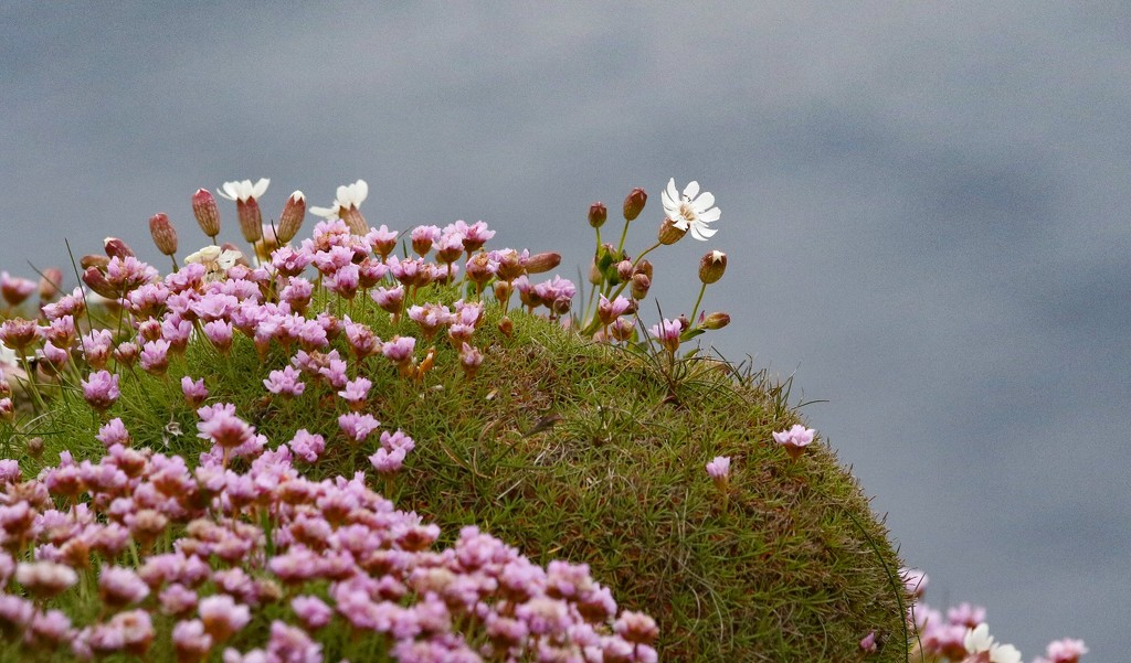 Sea Campion by lifeat60degrees