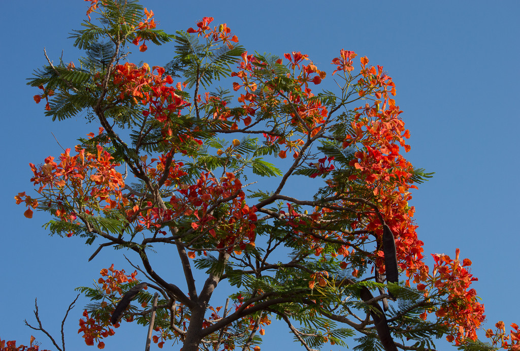 Fire tree by caterina