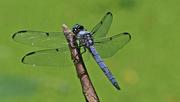 8th Jun 2019 - blue dragonfly