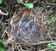 10th Jun 2019 - Brown thrasher nest