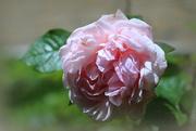 10th Jun 2019 - Roses of our garden