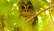 10th Jun 2019 - Barred Owl Peeping Through the Limbs!