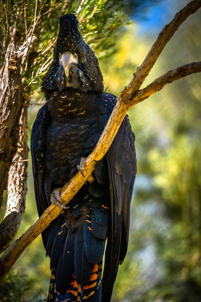 Glossy black cockatoo by pusspup
