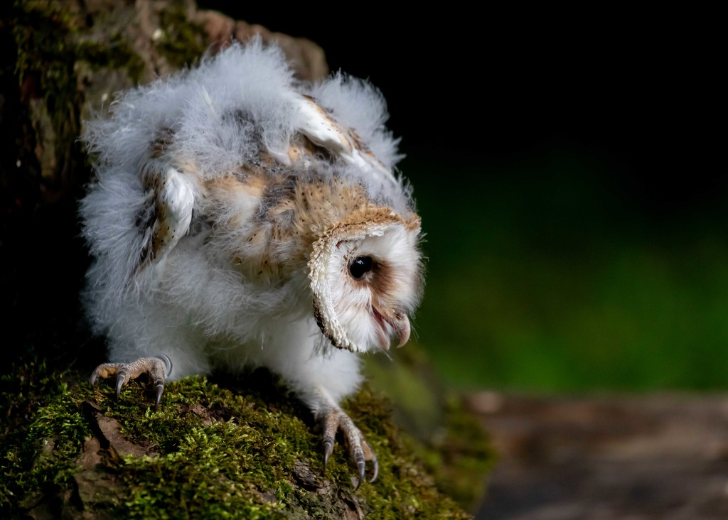 Barn Owl Fledgling by shepherdmanswife