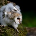 Barn Owl Fledgling