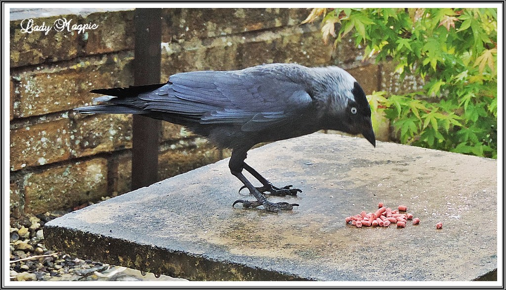 Stone the Crows, It's a Jackdaw. by ladymagpie