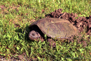 11th Jun 2019 - Y10 M06 D162 Snapping Turtle