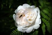 11th Jun 2019 - Roses of our garden (3)