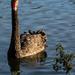 Wild black swan