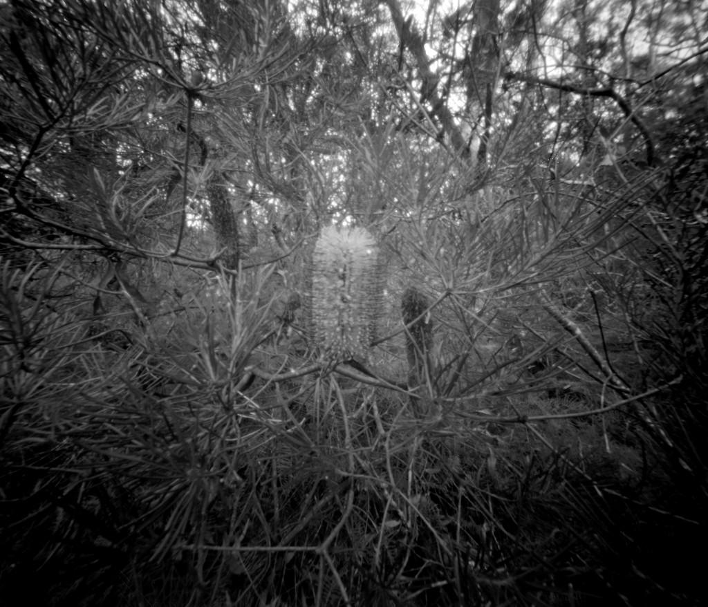 Banksia bloom by peterdegraaff