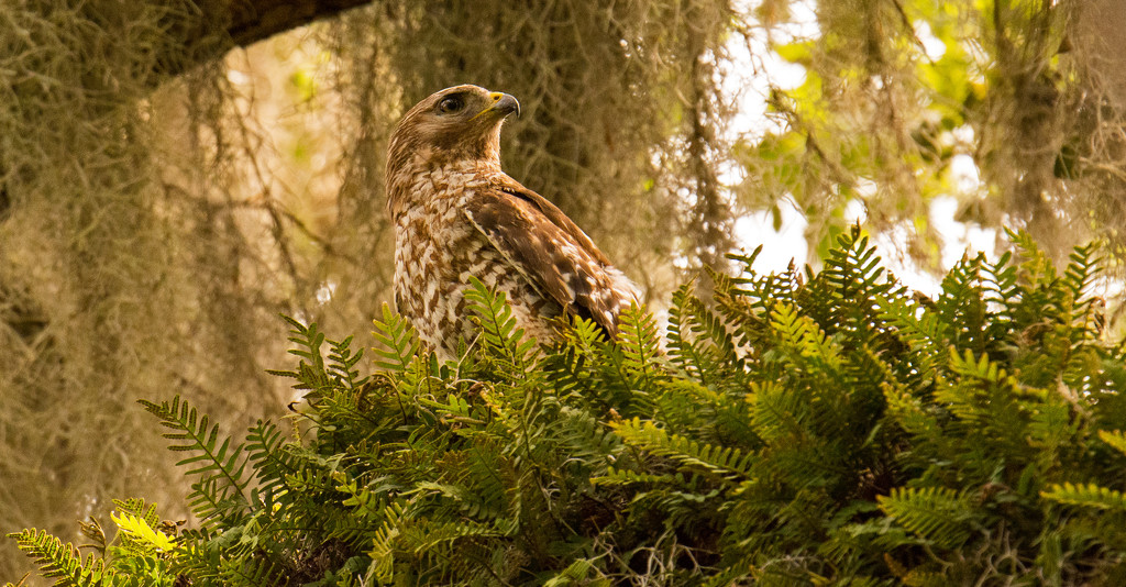 Red Shouldered Hawk Way Up in the Tree! by rickster549